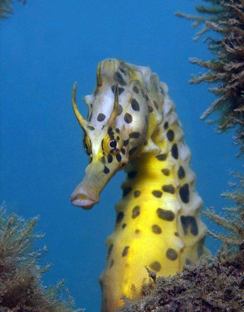 Golden-seahorse-750x500-500x640